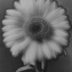 Flower (Solarization)