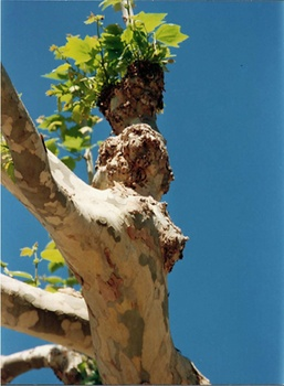 Tree trunk in form of a woman